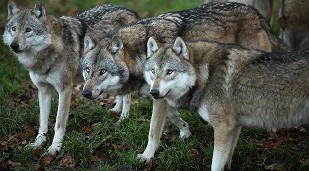 Fotografi på tre vargar.