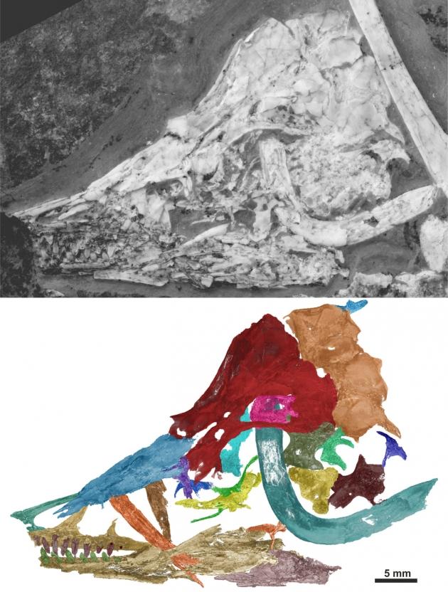 Fossil och en digital rekonstruktion av skalle och gaffelben av en Archaeopteryx albersdoerferi. Bild: Martin Kundrát