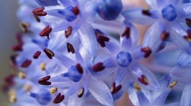Scilla madeirensis, the Giant Madeiran Squill