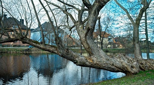 Träd som lutar över en å med hus i bakgrunden.