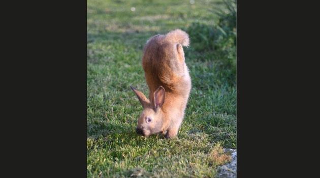 Kanin som går på frambenen