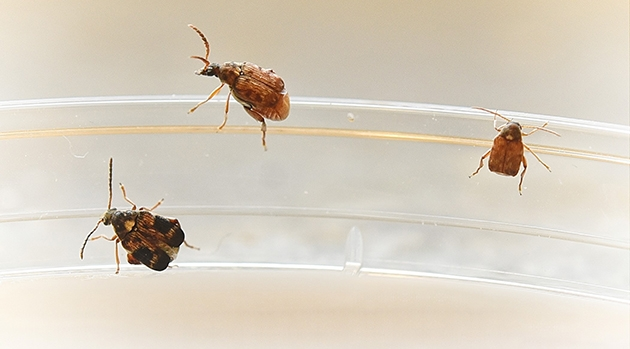 Three brown seed beetles that differ in body size.