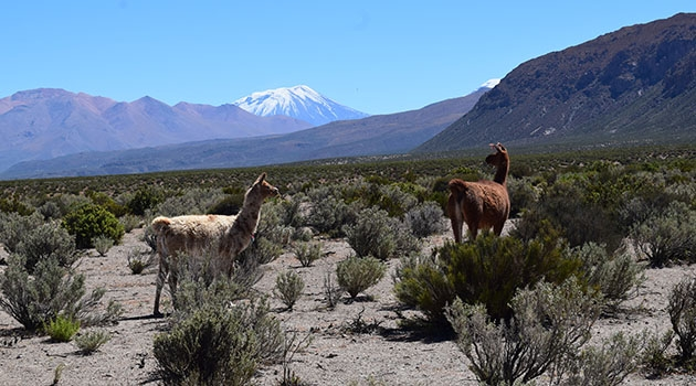Lamor på Andernas högplatå.