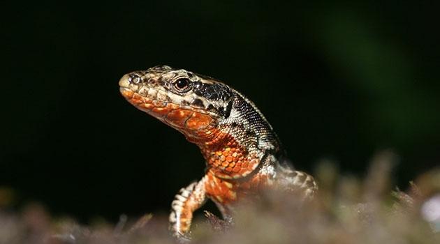 A common wall lizard exhibiting orange coloration.