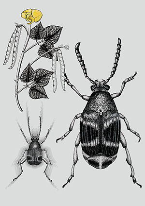 An illustration of two beetles and a piece of a plant.