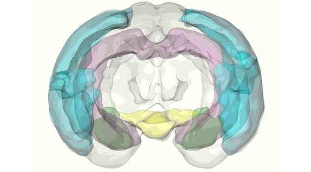 Illustration of a brain, where different parts have different colors.