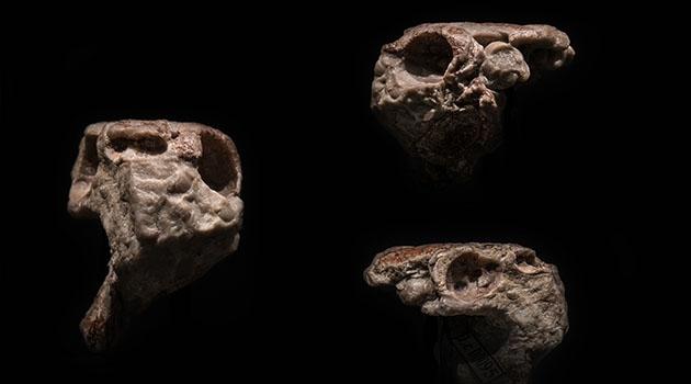 Den fossila skallen av Radotina