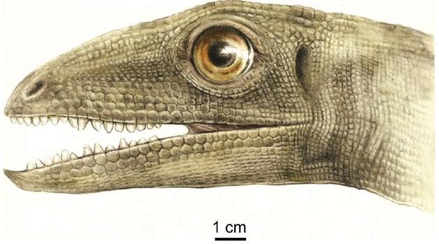 Illustration som visar djurets huvud.