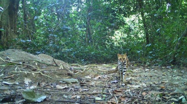 leopard i tropisk skog