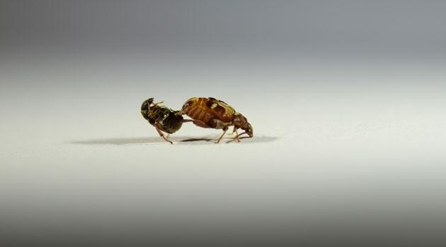 Två skalbaggar