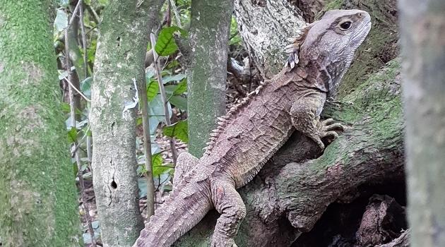 Reptilen tuatara är grå med en taggig kam på huvudet och längs ryggraden.