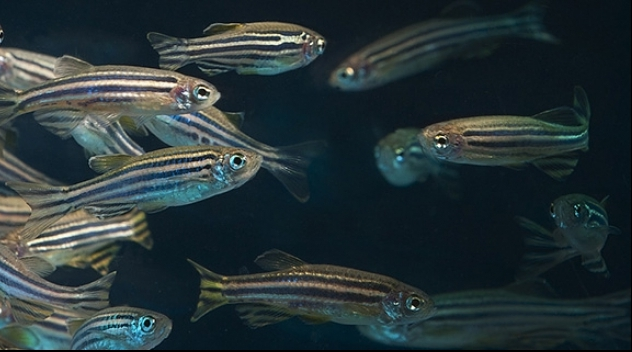 Zebrafish are playing an increasingly important role in science
